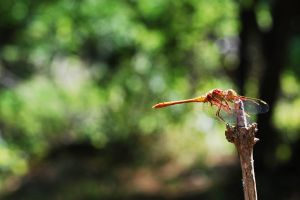 Dragonfly by geographu