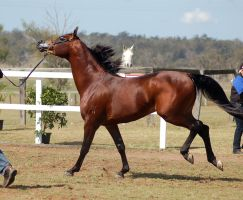 GE Arab darkbay canter kick by Chunga-Stock