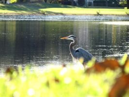Heron Through the Grass by Michayla-Marie