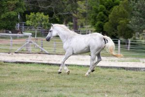 Dn white pony canter side view by Chunga-Stock
