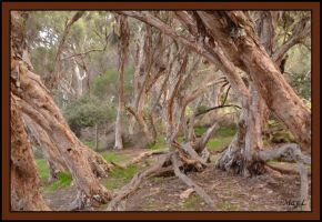 Paperbark Trees by MayEbony