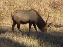 Elk of Colorado 6 by Collidoscope
