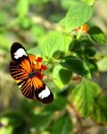 Common Postman Butterfly by TheSleepyRabbit