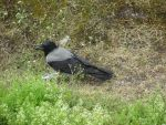 Carrion Crow from Porvoo by MadMagpie