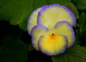 pansy by dale427