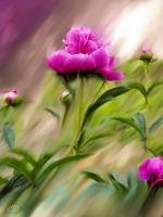 PIVOINES  (PRINTEMPS/ ETE 2013 33) by BELLESYMPHORINE