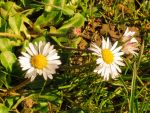 Daisy spring poem by Stilleschrei