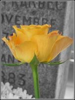 Yellow rose by Emilie25