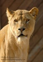 Lioness Portrait by Shadow-and-Flame-86