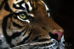 another tiger shot by scoot75