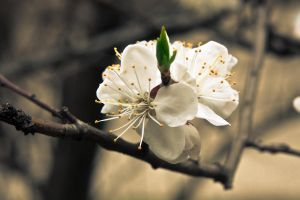Apricot flower 4, Ukraine by daily-telegraph