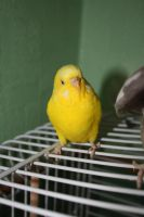 Vilde The Budgie by colorfulgirl