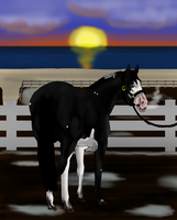 Newfoundland's Annual Show Stallion Halter Player by angry-horse-for-life