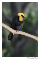 Yellow-hooded Blackbird by Tazzy-