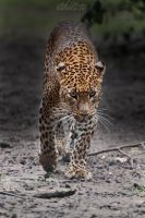 Endangered beauty with piercing eyes... by Seb-Photos