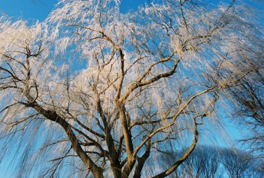 Hoarfrost Weeping Willow by Raptopanthera