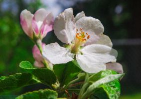 Apple Blossoms 1 by SkyEyes
