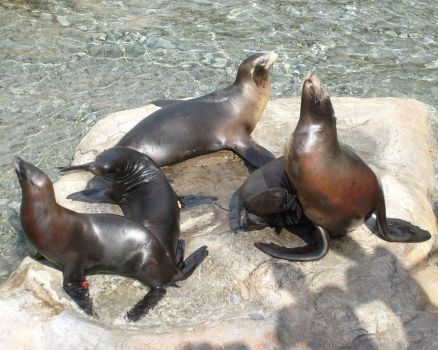Sea Lions by Skittles52Stock
