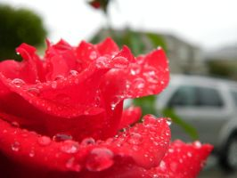 Rain on a rose by algreat