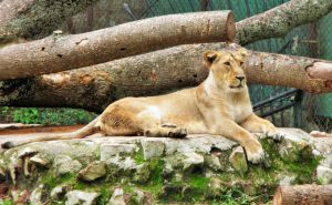 lion by msh2927