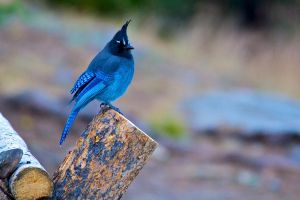 Steller's Jay by thankyoujames