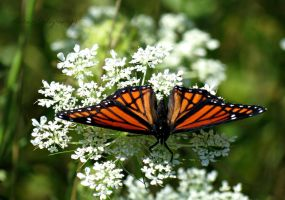 Viceroy on Queen Anne's Lace (2) by Michies-Photographyy