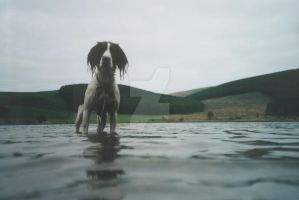 One big spaniel by Spinneyhead