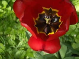Red tulip by Nini1996