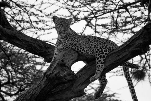 Leopard Guarding its Kill by samuelelliswilson