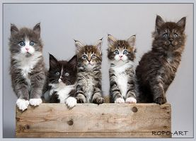 Maine Coon kittens B litter by ropo-art