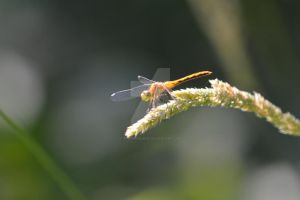 Dragon Fly on Weed by polarisman08