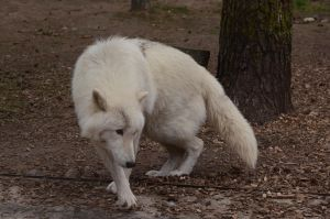 Arctic Wolf 7 by Lakela