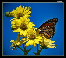 Monarch wrapped in yellow by boron