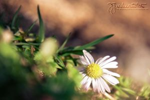 Daisy by buschermoehle-photo