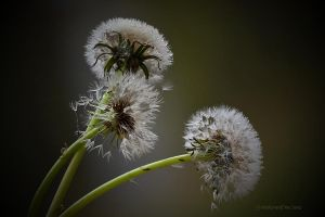 withered dandelion by SvitakovaEva