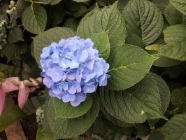 Blue Hydrangea Flower 1 by Metacharis