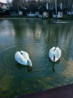 Two swans on lake by LoyaltyA