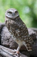 Burrowing Owl 001 by FoxWolfPhoto