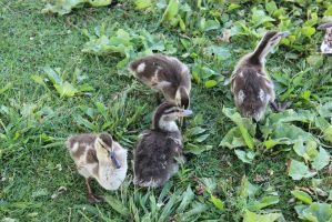 Ducklings 3 by crispykrillin