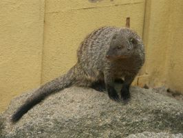 Banded Mongoose 2 by animalphotos