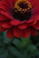 Red Zinnia by Khrys90