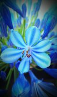 Blue Petals by maddy39