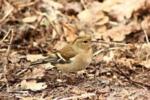 Female Chaffinch by JetteReitsma