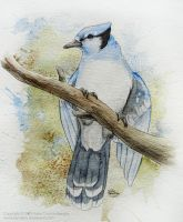 Blue Jay by Kamakru