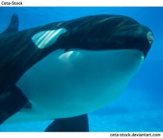 Orca Underwater 14 by Ceta-Stock