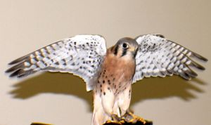 American Kestrel #1 by Darklordd