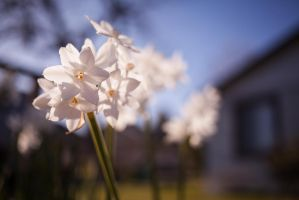 Paperwhites by blueomni87