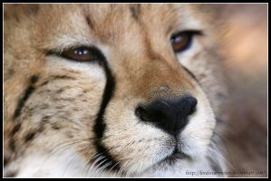 Cheetah face II by AF--Photography