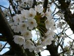 White Tree Flower Blossoms by Enchantedgal-Stock
