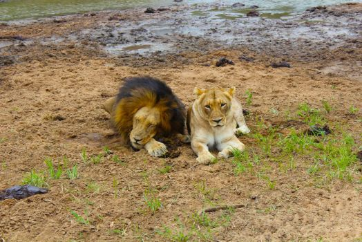 African Lion and Lioness by ZevGordoni